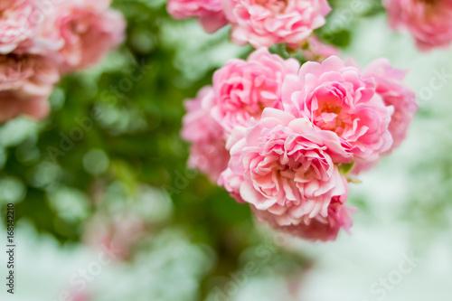 Shrub Rose Pale Pink Roses Shrub In Garden Vintage Color Bush Of