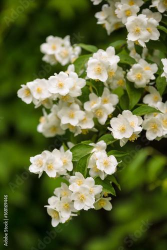 jasmine plant blooming Poster Mural XXL