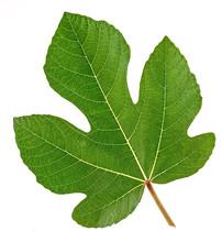 Fig Leaf, Shame, Mask, Nakedne...