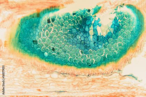 In de dag Macrofotografie Cell microscopic- macro weevil rye