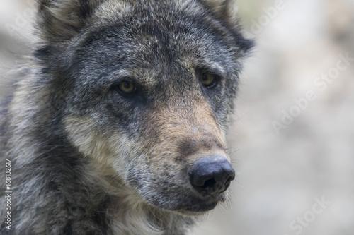 Papiers peints Loup Loup
