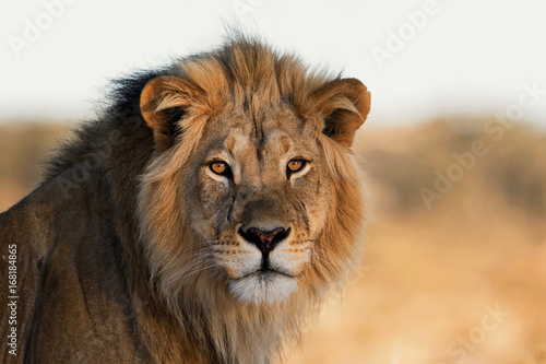 Stickers pour porte Lion Portrait of a King