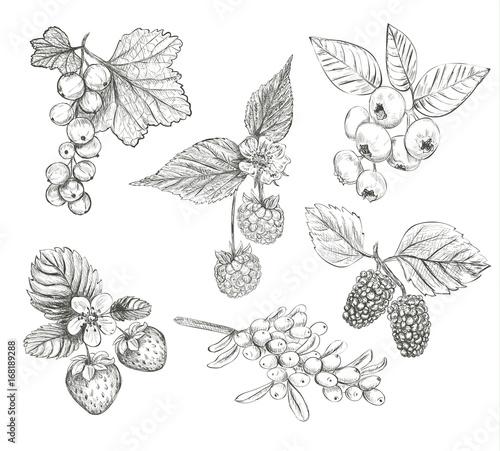 Fotografie, Obraz  Sketch Berries set vector illustration