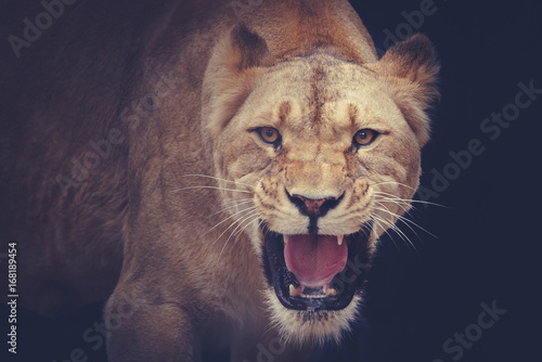Fototapeta lioness