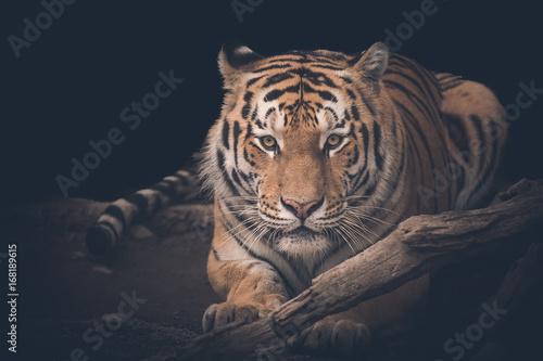 Foto auf AluDibond Tiger tiger