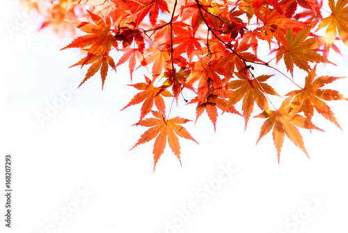 the beautiful autumn color of Japan red maple .leaves on white background