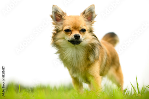 Long hair Chihuahua standing on green lawns with white