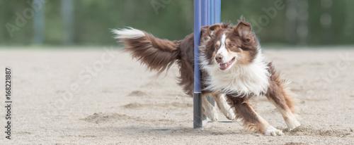 Fotografía Australian shepherd doing slalom in agility dog competition
