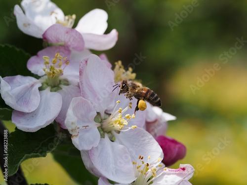 western honey bee (apis mellifera) flying over an apple tree
