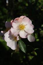 Rosa Rubiginosa Or Sweet Briar Or Eglantine Rose With Green