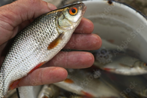 Fényképezés  roach fish in the human hand