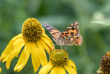 Painted Lady Butterfly On Mexican Hat Coneflower In Sandia Mountains, New Mexico