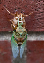 Cicada Emerging From Its Nymph...