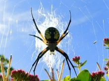 Yellow Garden Spider Large Fac...