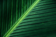 Striped Texture Of Green Palm Leaf, Abstract Of Banana Leaf Background.