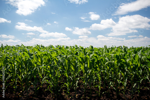 Photo Green cornfield and blue sky