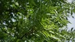 Green leaves of a tree moving in the wind in 4K resolution