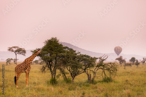 Eating baby giraffe in nature savannah habitat during summer morning sunshine, Serengeti National Park, Tanzania. Wildlife scene of African Safari. Hot air balloon in the background.