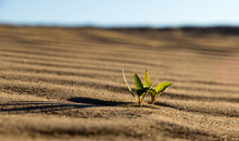 A Plant On The Sand In The Des...