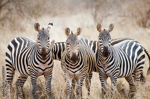Canvas Prints Zebra Zebras (Equus burchellii)