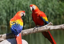 Pair Of South American Scarlet...