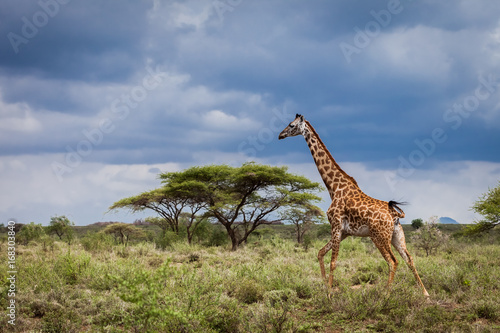 Running giraffe in motion nature savannah habitat in Serengeti National Park, Tanzania. Wildlife scene in African Safari. Baobab tree in the background. Thunderstorm blue sky contrast.