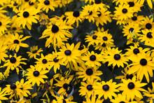Many Black-eyed Susan Flowers