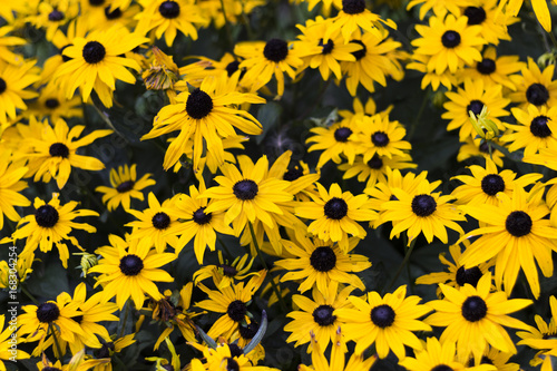 Fotografia, Obraz Many Black-eyed susan flowers