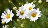 Fototapeta Kwiaty - Polne kwiaty rumianek