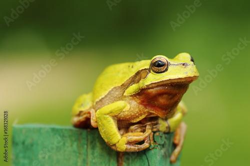 Tuinposter Kikker cute green tree frog