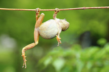 Green Tree Frog Climbing On Twig