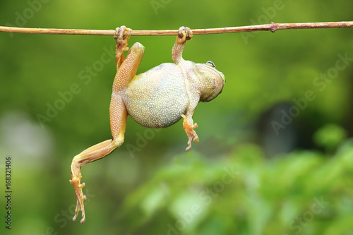 Poster Kikker green tree frog climbing on twig