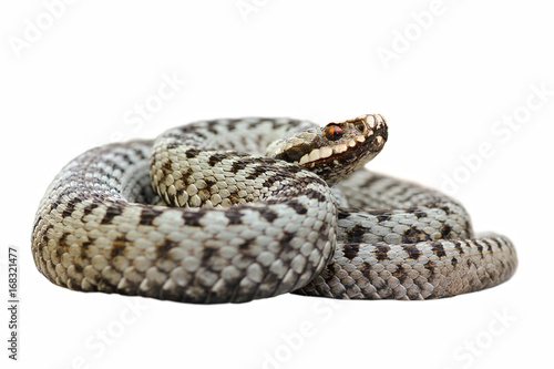 isolated male common crossed viper