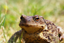 Portrait Of Ugly Toad