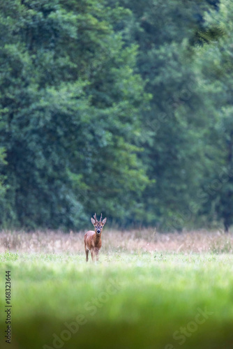 In de dag Ree Roe deer buck in meadow