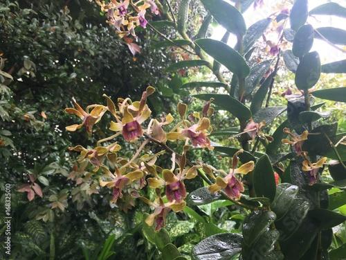 Dendrobium Barack and Michelle Obama Orchid flower Fototapeta