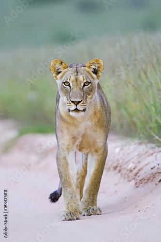 Foto op Plexiglas Leeuw Kalahari Queen