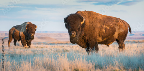 Spoed Foto op Canvas Bison Bison in Grasslands, Canada