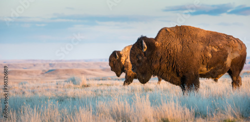 Canvas Prints Bison Bison in the prairies