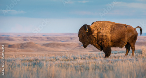 Door stickers Bison Bison in Grasslands National Park