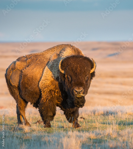 Photo sur Toile Bison Bison in the prairies