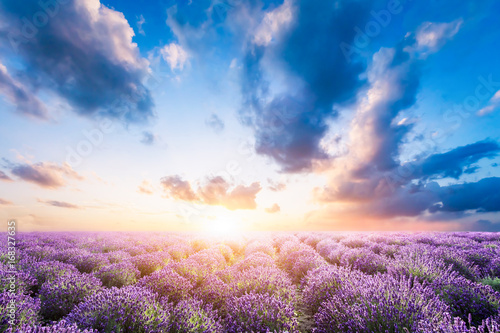 Lavender flower field at sunset