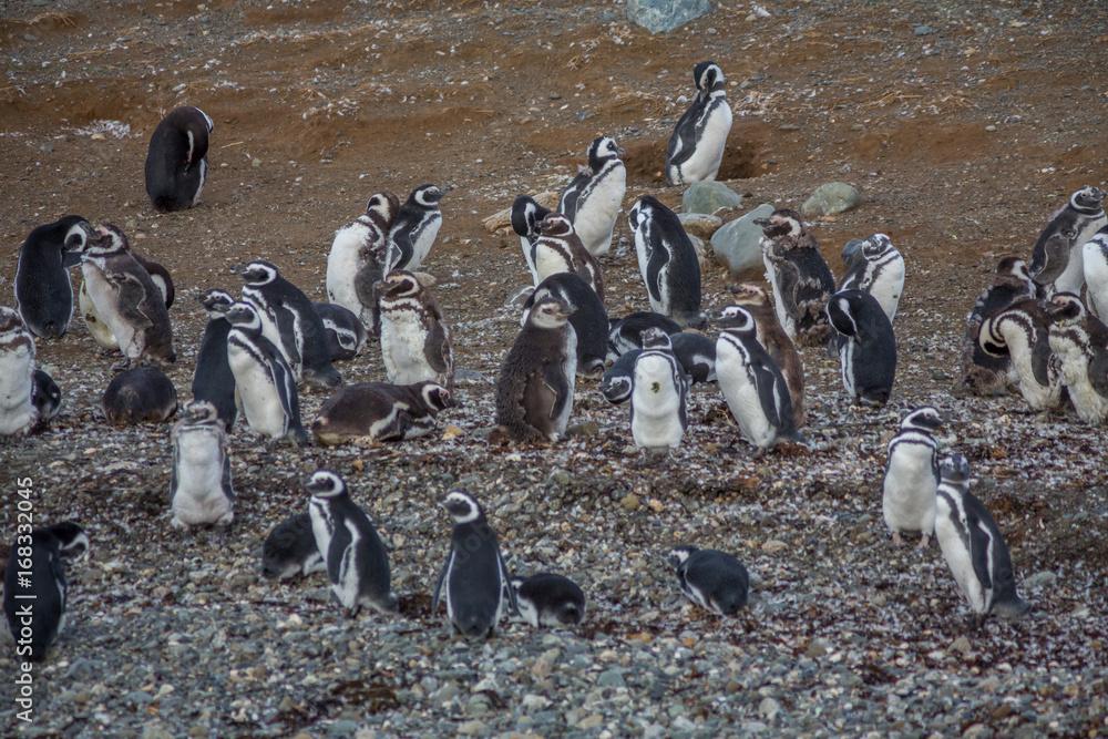 Wild Penguin, Isla Magdalena, Punta Arenas, Chile, Patagonia