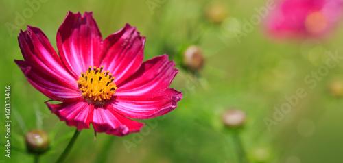 Photo sur Aluminium Univers Pink cosmos flower background.