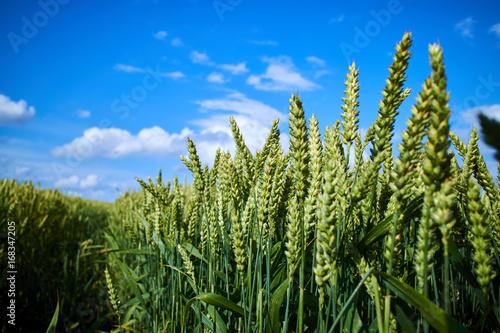 La pose en embrasure Sauvage wheat field