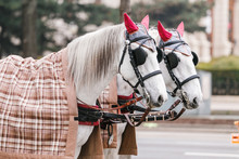 White Beautiful Decorated Horses At The City Street With Coachman
