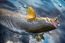 Brook Trout Caught On Rotating...