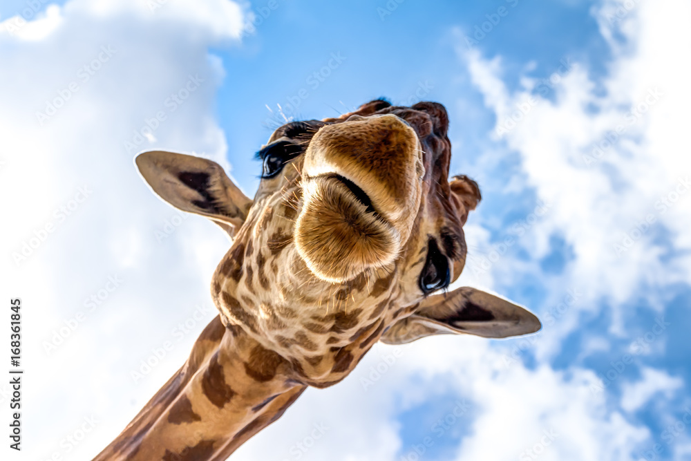 Close-up of a giraffe head during a safari trip South Africa Plakát