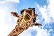 canvas print picture - Close-up of a giraffe head during a safari trip South Africa