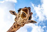 Fototapeta Animals - Close-up of a giraffe head during a safari trip South Africa